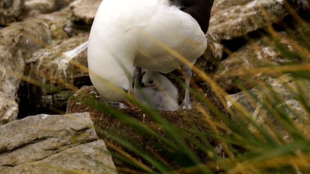 black-browed albatross und southern rockhopper pinguine nisten zusammen auf den klippen von west point insel auf den falkland-inseln - nest stock-videos und b-roll-filmmaterial