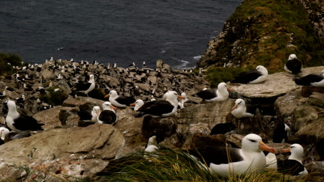 Black-browed Albatross and Southern Rockhopper Penguins nest together on the cliffs of West Point Island in the Falkland Islands