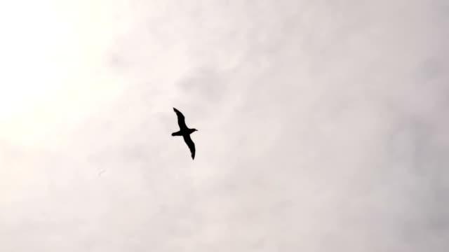 Black-Browed Albatross Flying Low