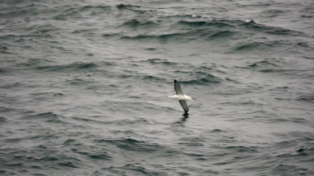 Black-Browed Albatross Flying Low