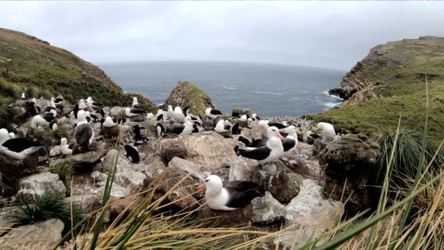 Black-browed Albetross - Falkland Islands