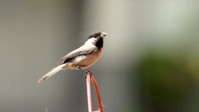 A Black-Capped Chickadee Brings Grubs Back to the Nest