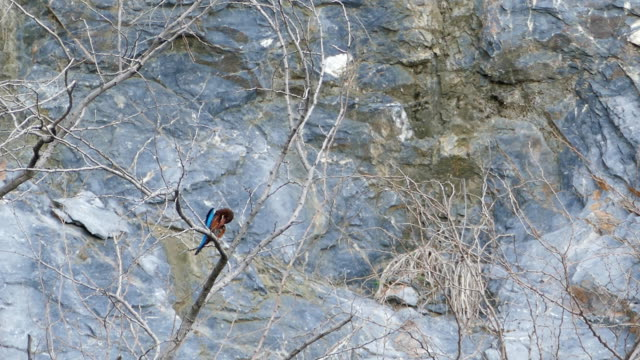 Black-capped kingfisher (Halcyon pileata). ฺBird in nature