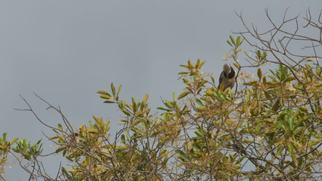 Black-collared starling on the canopy video