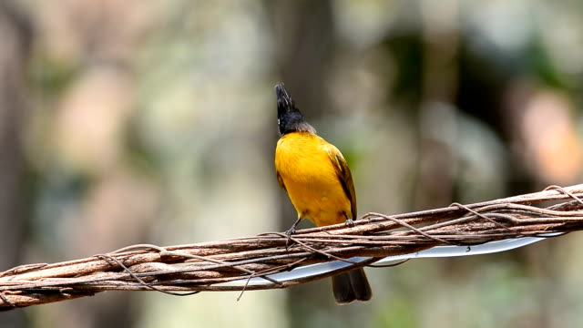 Black-crested Bulbul bird video