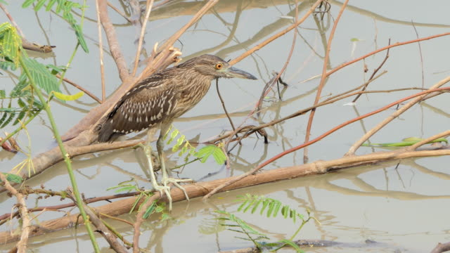 Black-crowned night heron bird in wetland. video