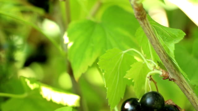 Blackcurrant cassis odorous sweet berries panning close up video