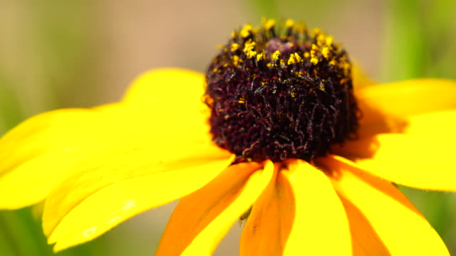 Black-eyed-susans Coneflowers