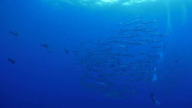 vídeos y material grabado en eventos de stock de pesca de blackfin barracuda en blue corner, palau - zona pelágica