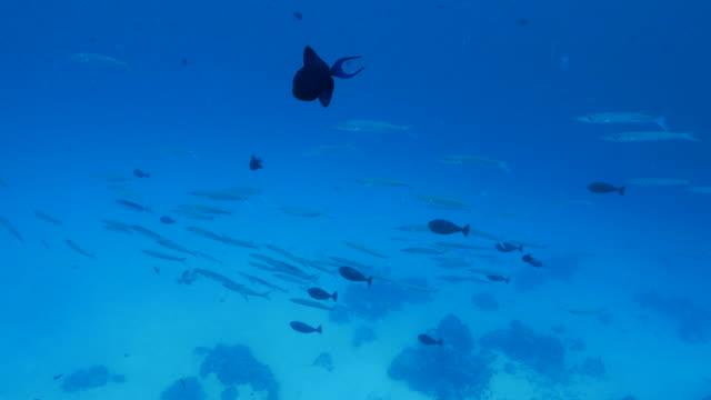 vídeos y material grabado en eventos de stock de blackfin barrcuda peces, peces ballesta - sea life park