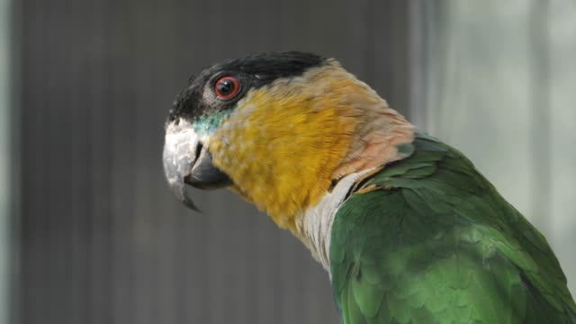 Black-headed parrot- close up video
