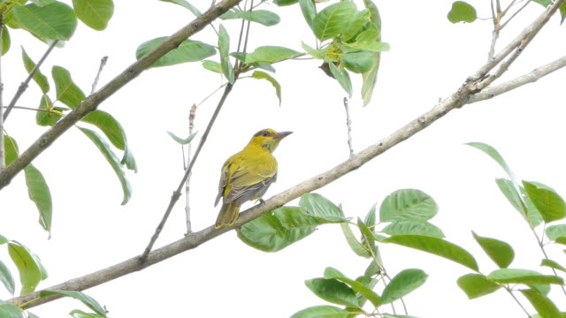 Black-naped Oriole in tropical rain forest. Black-naped Oriole (Oriolus chinensis) on branch in tropical rain forest. animal body stock videos & royalty-free footage