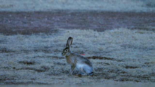 siyah-kuyruk tavşan - tavşan hayvan stok videoları ve detay görüntü çekimi