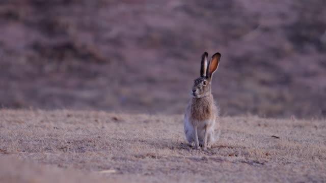 黑尾野兔 - 野生動物 個影片檔及 b 捲影像
