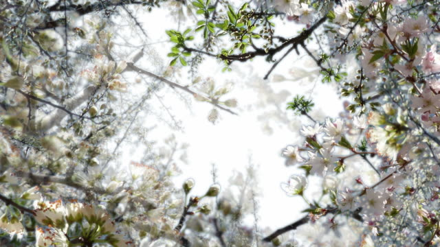 blackthorn blossom. (seamless loopable) video