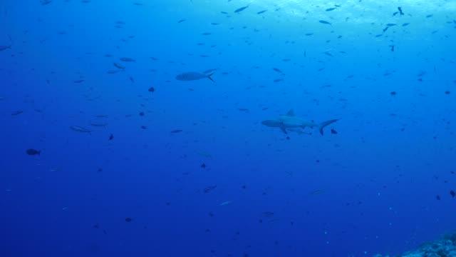 vídeos y material grabado en eventos de stock de tiburón de punta negra submarinos, palau, micronesia - palaos