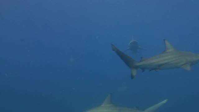 stockvideo's en b-roll-footage met blacktip shark (carcharhinus limbatus) - minder dan 10 seconden