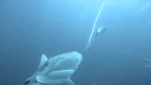 Blacktip Sharks swimming around bait video