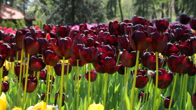 blacktulips black tulips in the park tulip stock videos & royalty-free footage