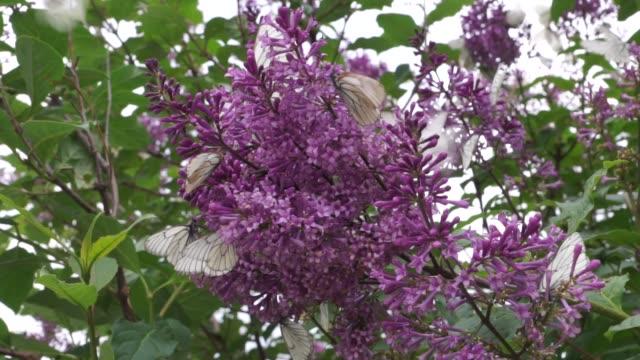 black-veined white butterflies on purple lilac flowers