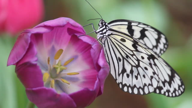 black&white butterfly on purple tulip flapping wings, Shallow DOF. video
