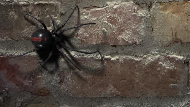 blackwidow spider walking on a brick wall - pająk filmów i materiałów b-roll