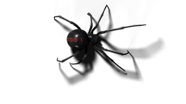 blackwidow spindel med alfakanal på vita och grå bakgrund - spindel arachnid bildbanksvideor och videomaterial från bakom kulisserna