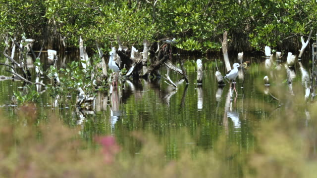black-winged stilt birds finding food in a shallow pond. - mandriano video stock e b–roll