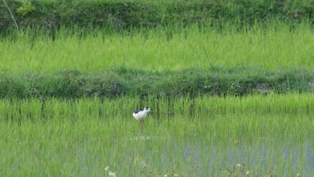 Black-winged stilt searching for food in the paddy field video