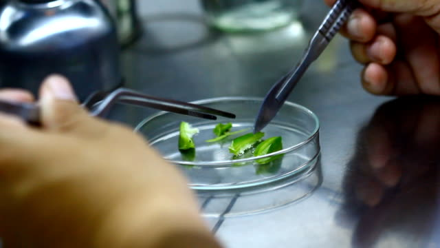 blade cut orchid seed in biotechnology for plant tissue culture