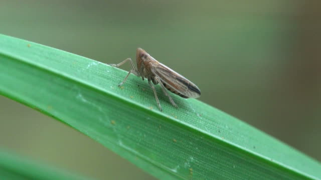 Blade of grass with midg insect video