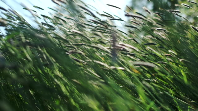 Blades of grass in a summer meadow gently swaying in 5 X slow motion, shallow focus. video