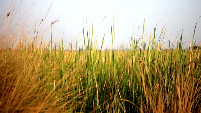 Blades of grass swaying though wind video