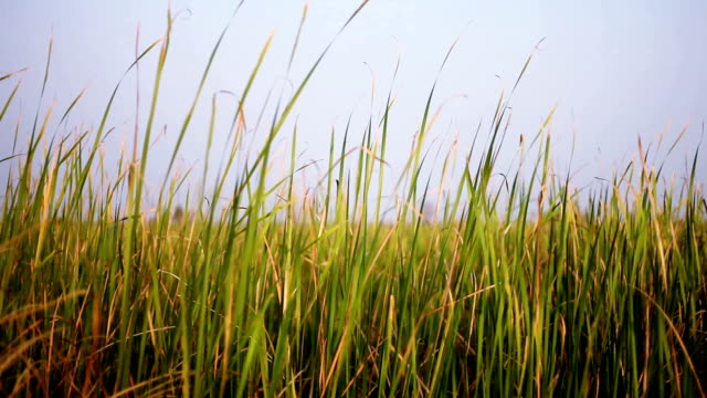 Blades of grass swaying though wind HD1080p: Blades of grass swaying though wind in the nature. prairie stock videos & royalty-free footage