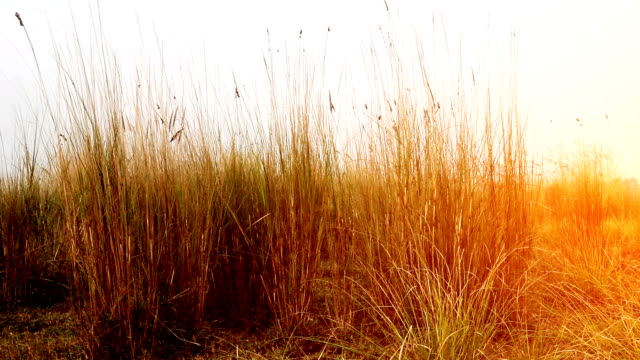 Blades of grass swaying through wind in the nature. Blades of grass swaying through wind in the nature. blade of grass stock videos & royalty-free footage
