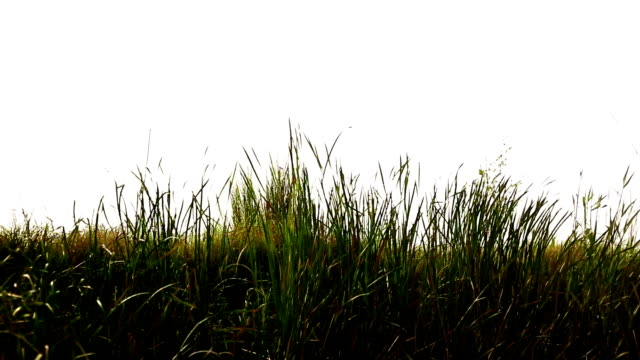 Blades of grass swing through wind colorful blades of grass swing through wind outdoor in the nature. blade of grass stock videos & royalty-free footage