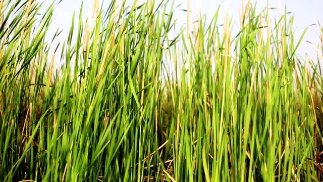 Blades of grass swing through wind video