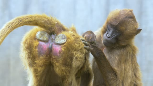 Bleeding heart monkey getting groomed