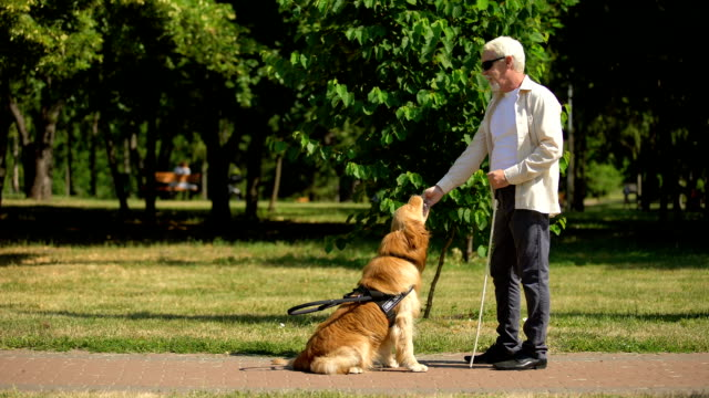 blind man training guide dog in park, giving obedience commands and feeding - cane addestrato video stock e b–roll