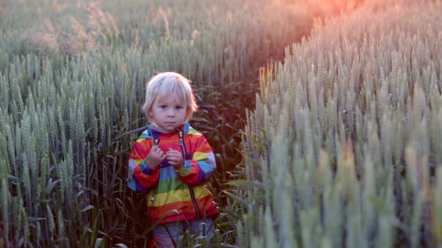 Blond child, toddler boy, standing in wheat field on sunset