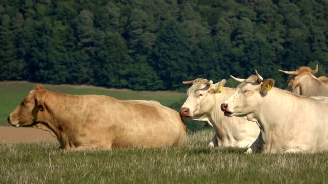 Blonde d Aquitaine, herd on the pasture, free-range husbandry, Blonde d'Aquitaine