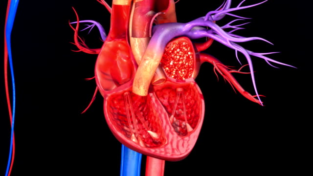 Blood circulation in heart Blood enters the heart through two large veins, the inferior and superior vena cava, emptying oxygen-poor blood from the body into the right atrium. blood flow stock videos & royalty-free footage