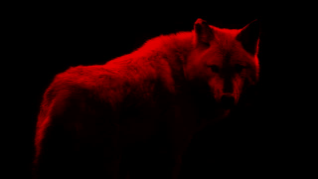 blood red wolf abstract - lupo video stock e b–roll