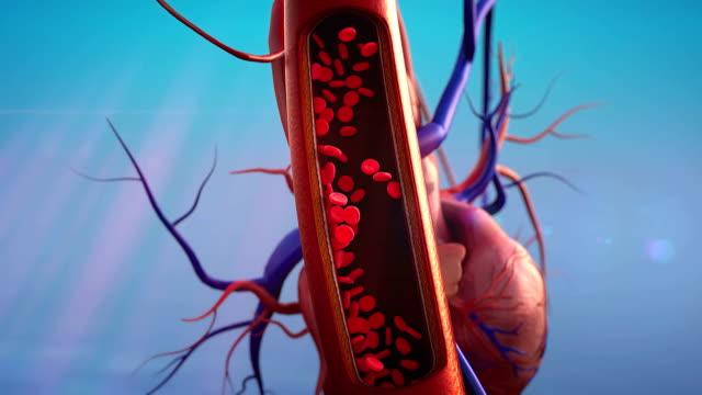 vídeos de stock e filmes b-roll de vasos sanguíneos, eritrócitos - ventrículo do coração