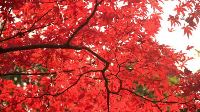 秋梢の血好き - 秋点の映像素材/bロール