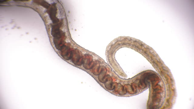 stockvideo's en b-roll-footage met bloodworm onder microscope (glycera, annelid) - worm