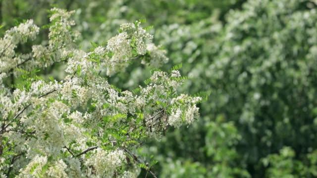 Bloomig acacia tree waving on wind, slow motion video