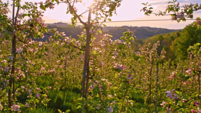 SLO MO Blooming apple orchard at sunrise video