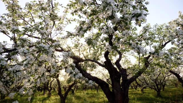 vídeos de stock e filmes b-roll de blooming apple orchard at sunset - amendoas