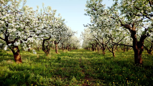 blooming apple orchard - spring stock videos & royalty-free footage